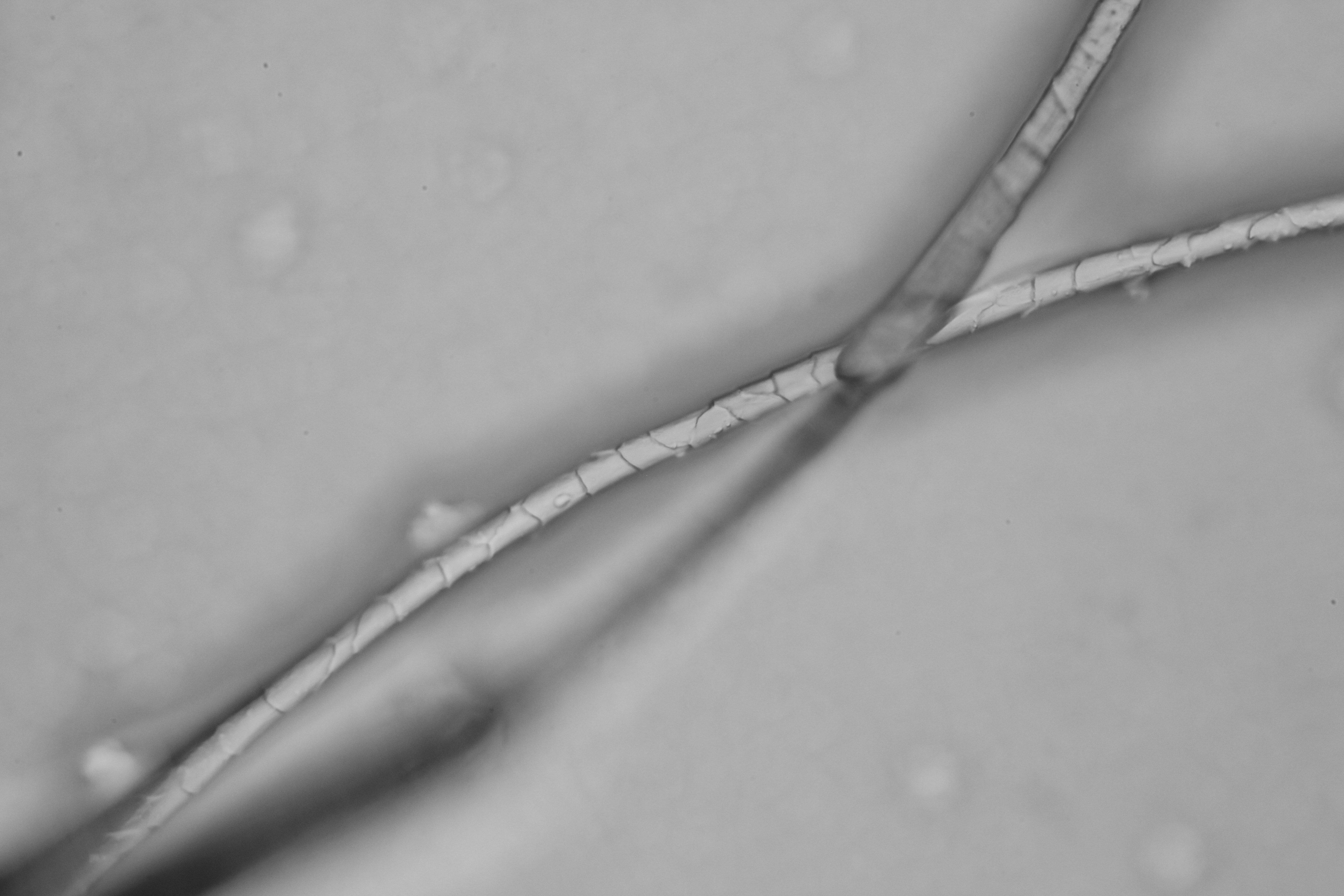 羊毛羊绒显微图片观察(进口显微镜及KL成像系统)5