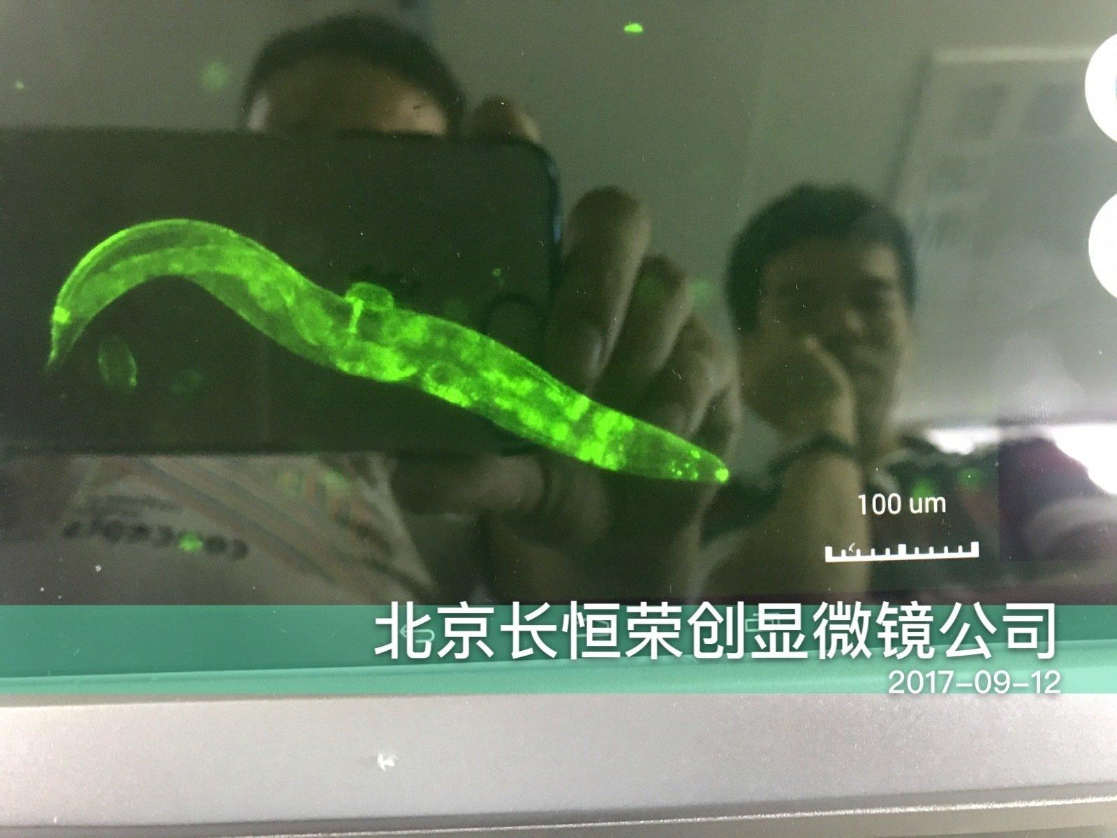 线虫、果蝇幼虫荧光转染显微拍摄效果图3
