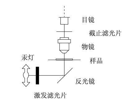 荧光显微镜原理